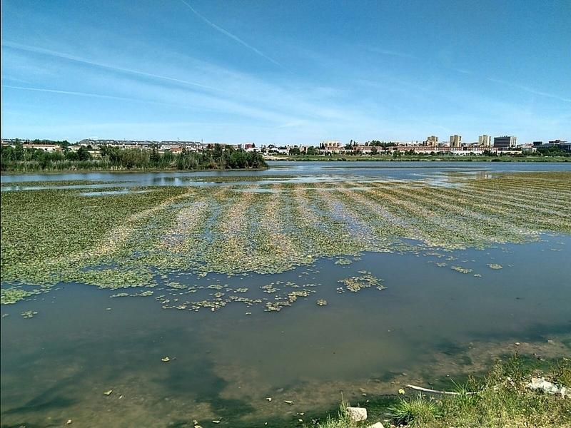 La CHG aplica dos herbicidas en pruebas para frenar el crecimiento del nenúfar mexicano en el entorno urbano de Badajoz