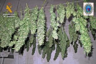 Un detenido por un punto de cultivo de marihuana en Badajoz en el que han sido hallado 21 kilos de cogollos