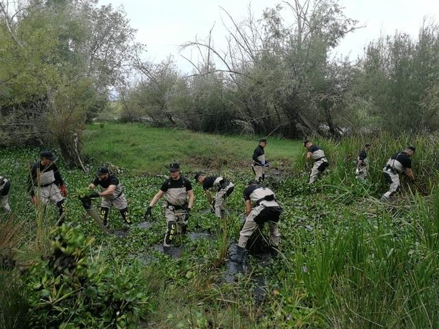 Diversas ONG´S critican las improvisaciones y el ''peligroso intento de externalización'' en la gestión del camalote extraído del Guadiana
