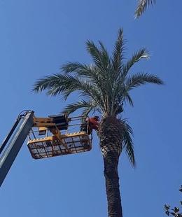 Arreglan las palmeras de la avenida de Huelva