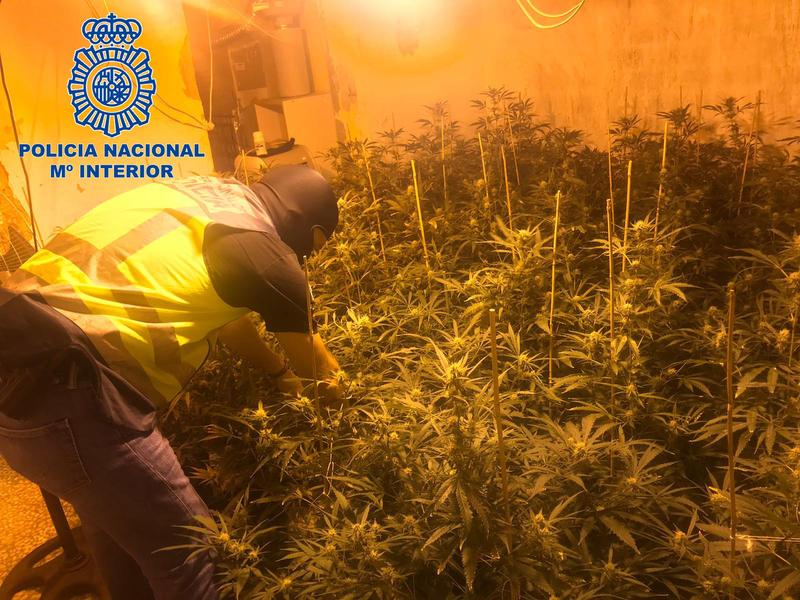 Policía Nacional detiene a un varón por cultivo de marihuana en su domicilio