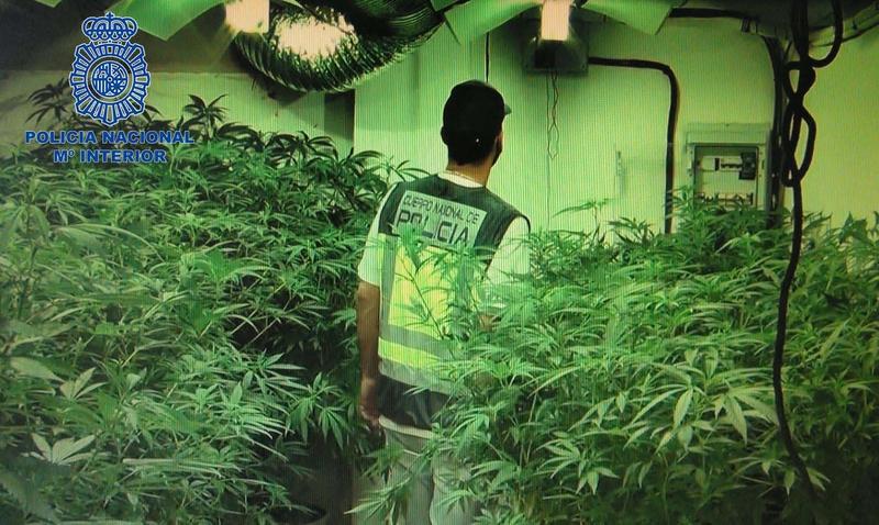 Policía Nacional desmantela una plantación de ''plantas madre de marihuana'' en un sótano