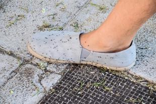 El PSOE de Badajoz alerta de una plaga de hormigas en Ronda Norte y pide al gobierno local que 'actue rápido'